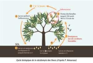 Cylce_biologique_cecydomyle_fleur_manguier